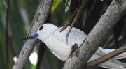 Latitude180_Seychelles_Fairy_Tern_by_Massimiliano_Tagliabue